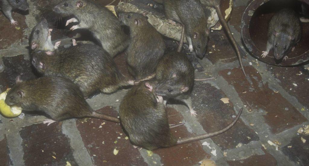 уничтожение крыс в Одинцово